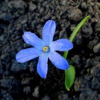 Дворовые цветы (снежная красавица) :: Дубовцев Евгений