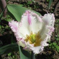 Махровый тюльпан :: Дмитрий Никитин