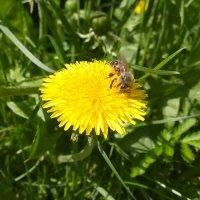 Пчелка.Красота Природы :: Валерия Полникова