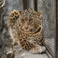 Персидский леопард :: Владимир Шадрин