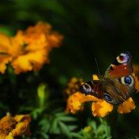 Просто бабочка :: A_Performance ...