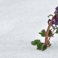 Сквозь снег. :: Алексей .