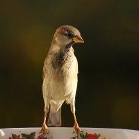 воробей :: linnud