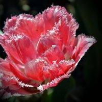 Бал тюльпанов-2 :: Ольга Голубева
