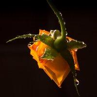 Роза обыкновенная... :: Sergey Apinis