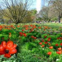 Время тюльпанов :: Nina Yudicheva