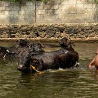 Купание чёрного быка... :: Oleg