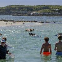 плавающие свиньи :: Petr @+