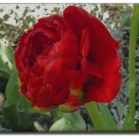 Тюльпан... :: СветЛана D