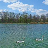 Лебеди на озере :: Galina Dzubina