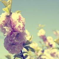 Сакура в цвету. :: Svetlana