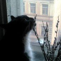 Кошка Глафира знакомиться с вербой! :: Светлана Калмыкова