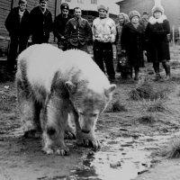 Белые медведи в центре городка Амдерма. 1989г. (переснято с  фото моего друга)... :: Валерия  Полещикова
