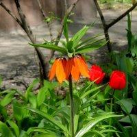 Цветы по имени рябчики :: Нина Бутко