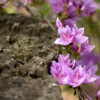 Камень и цветы :: Татьяна Каримова