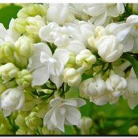 бело - белоснежка ! :: Ivana