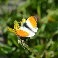Бабочка :: Дарья Логвинова