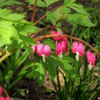 Разбитое сердце всё равно цветёт весной :: Нина Бутко