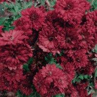 каламбур цветов :: Роза Бара