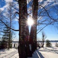 Берёзовое солнце . :: Андрей
