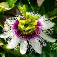 пассифлора цветок :: Александр Деревяшкин