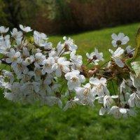 Весеннее цветение :: Алёна Савина