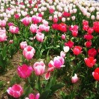 Опять бал тюльпанов :: татьяна