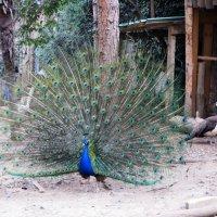 Царственной птицей зовётся павлин :: Наталья Джикидзе (Берёзина)