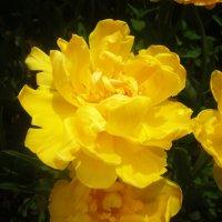 "Тюльпан махровый из серии ""Бал тюльпанов"" :: татьяна"