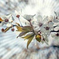 Сияние весны. :: Олег Барзолевский