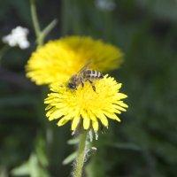 Пчела на одуванчике :: Дмитрий Внуков