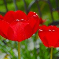 тюльпаны :: snd63 Сергей
