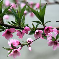 Ветка цветущего персика :: Alexander Varykhanov