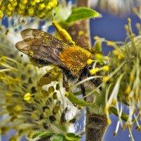 Пчелка в мае :: Николай Мелонов