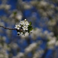 Соцветие Вишни в галактике Весны :: Михаил Кашанин