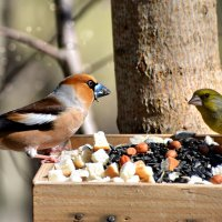 дубонос и зеленушки :: linnud