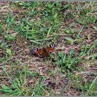 Бабочка :: Владимир Белов