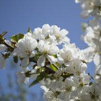 Вишни цвет. :: Дмитрий Т