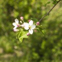Яблоня цветет :: Анастасия сосновская