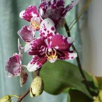 орхидея далматинец :: Юрий