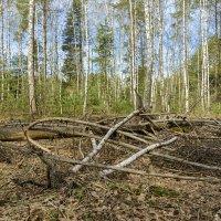Весенний лес :: Юрий Бичеров