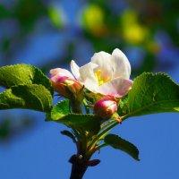 Яблоньки цвет... :: Любовь К.