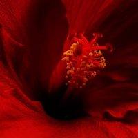 hibiskus :: Лилия Winоgradowa