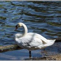 Про лебедей :: Владимир Белов