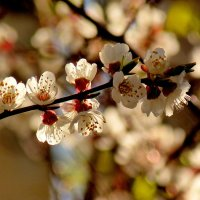 цветение садов 4 :: Александр Прокудин