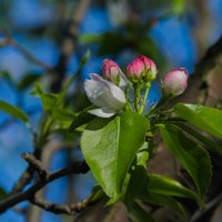Яблони в цвету. :: Yuri Chudnovetz