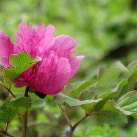 В лесу цветут пионы :: Нина Сигаева
