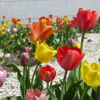 Первые тюльпаны :: Наиля