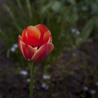 Огненный тюльпан :: Владимир Кроливец