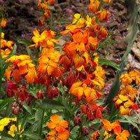Хейрантус или желтофиоль садоваяЯркий май :: Нина Бутко